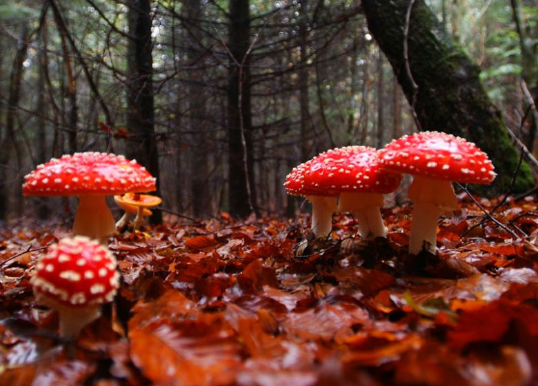 Champignons forêt Calvados