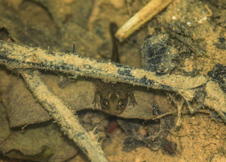 salamandre – ENS Bois du Caprice – Mai 2021